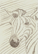 Rosalie Scanlon Posters - Zebra Drawing Poster by Rosalie Scanlon
