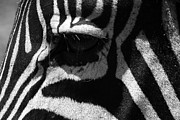Animal Portrait Prints Prints - Zebra Eye Print by Aidan Moran