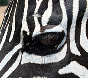 Animal Head Posters - Zebra Eye Poster by Linda Sannuti