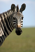 Zebra Face Prints - Zebra Face and Head Shot Straight On Print by Pamela Buol