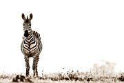 African Photos - Zebra Facing Forward Washed Out Sky Bw by Mike Gaudaur
