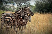 Zebra Family Print by David Gardener