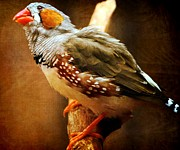Omaha Ne Photos - Zebra Finch by Elizabeth Winter