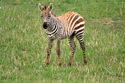 Animal Portrait Prints Prints - Zebra Foal  Print by Aidan Moran