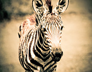 Maggy Marsh - Zebra Foal Three Quarter...