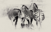 Christa Niederer Prints - Zebra foursome Print by Christa Niederer