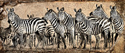 Glare Posters - Zebra Herd Rock Texture Blend Poster by Mike Gaudaur
