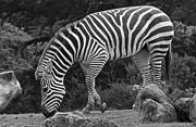 Kate Brown - Zebra in Black and White