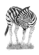 Featured Drawings - Zebra Itch by Stuart Fowle