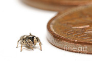Scott Linstead - Zebra Jumping Spider