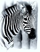 Zebra Print by Kathleen Struckle