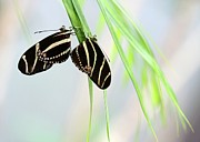 Zebra Butterfly Acrylic Prints - Zebra Longwing Butterflies Mating Acrylic Print by Sabrina L Ryan