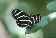 Quite Posters - Zebra Longwing Butterfly A Quite Moment Poster by Susan Stevens Crosby