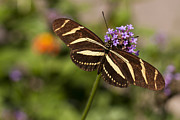 Close Up Floral Framed Prints - Zebra Longwing Butterfly Framed Print by Adam Romanowicz