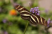 Zebra Longwing Butterfly Print by Adam Romanowicz