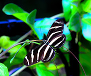 Gordon H Rohrbaugh Jr - Zebra Longwing Butterfly