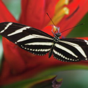 Costa Framed Prints - Zebra longwing butterfly Framed Print by Heiko Koehrer-Wagner
