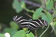 Zebra Butterfly Acrylic Prints - Zebra Longwing Butterfly In The Glades Acrylic Print by Christiane Schulze