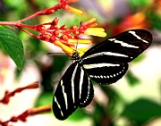 Orange And Brown Winged Prints - Zebra Longwing Butterfly Print by Ira Runyan