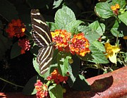 Jerry Padilla - Zebra Longwing Butterfly
