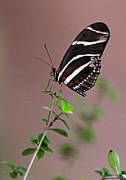Colorful Photos Posters - Zebra Longwing Butterfly  Poster by Juergen Roth