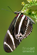 Fauna Metal Prints - Zebra Longwing Butterfly Metal Print by Millard H. Sharp