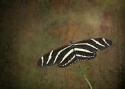 Spiritual Strength Prints - Zebra Longwing  Butterfly Print by Rudy Umans
