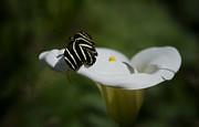 Saija  Lehtonen - Zebra Longwing in a Calla Lilly