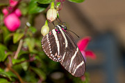 Laurel Butkins - Zebra Longwing