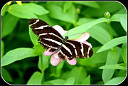 Patti Whitten - Zebra Longwing