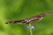 Ruth Jolly - Zebra Longwing