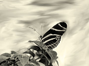 Zebra Butterfly Acrylic Prints - Zebra Longwing Sepia Acrylic Print by Rosalie Scanlon