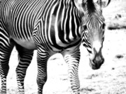 Zoo Animals Posters - Zebra Poster by Michelle Calkins