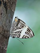 Zebra Mosiac Butterfly Print by Zoe Ferrie