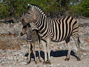 Zebra Photo Posters - Zebra Mother And Baby Poster by Bruce J Robinson