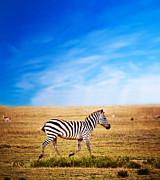 Zebra On African Savanna. Print by Michal Bednarek