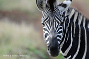 Jonathan Whichard - Zebra Portrait