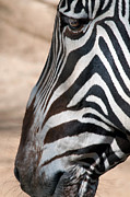 Zebra Photos - Zebra Profile by Dan Holm