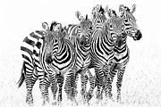 High And Low Framed Prints - Zebra Quintet Framed Print by Mike Gaudaur
