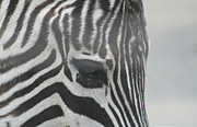 Zebra Face Prints - Zebra Print by Rob Cruise