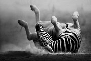 Johan Swanepoel - Zebra rolling in the dust