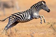 Zebra Running And Jumping Print by Johan Swanepoel