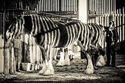 Tony  Golding - Zebra Shires