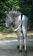 Blago Simeonov - Zebra showing backside