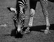 Maggy Marsh - Zebra Simple