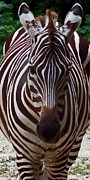 Horse Images Framed Prints - Zebra Framed Print by Skip Willits