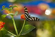 Cari Gesch Metal Prints - Zebra Striped Butterflies Metal Print by Cari Gesch