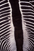Opposite Prints - Zebra Stripes Closeup Print by Anna Lisa Yoder