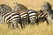 Fauna Originals - Zebra Stripes by Phyllis Peterson