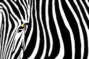 Zebra Photo Posters - Zebra Stripes Two gfx Poster by Dan Holm